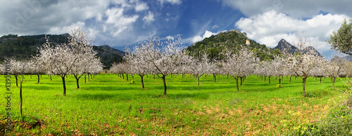 almond trees Poster Mural XXL