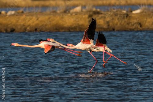 Foto op Aluminium Flamingo Flamingos when starting