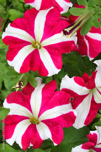 Pink And White Petunia Flowers Close Up Buy This Stock Photo And