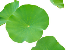 Lotus Leaves Isolated On White Background. Lotus Leaves In A Pond.