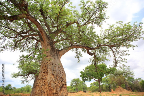 African Baobab (Adansonia digitata) in Zambia Canvas Print