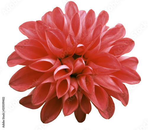 Poster Dahlia flower red dahlia isolated on white background is no shade. Suitable for designers. Closeup.