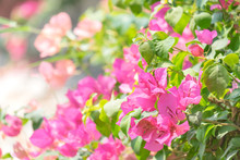 The Showy Flowering Bougainvil...