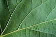 Close up fresh green leaf vein texture nature background.