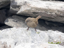 Cobb's Wren, Troglodytes Aedon Sobbi Is Little Common Bird, Carcass, Falklands / Malvinas