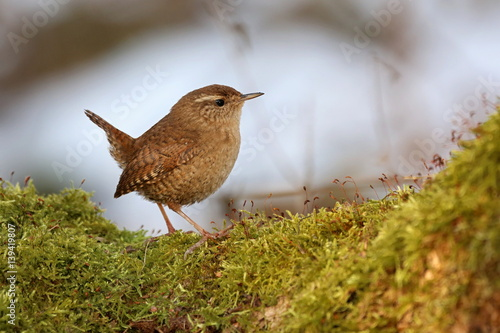 Fotografie, Obraz  Troglodytes troglodytes, wren bird sitting on a branch overgrown with moss