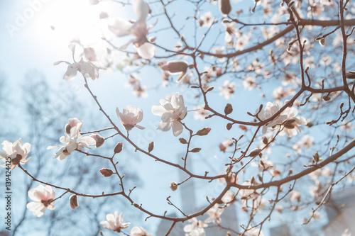 Fotografia spring cherry blossom Central Park New York