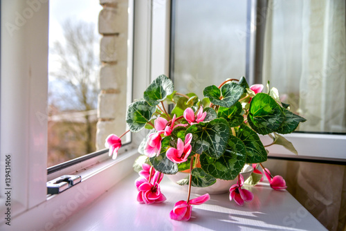 Valokuvatapetti Wilted colorful variegated white and pink cyclamen flowers with ornamental leaves cultivated as indoor houseplants on window sill with open windows, in overcast summer day