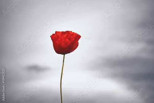 Poster Poppy Red poppy flower on gray sky background.