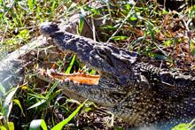 Crocodiles From Farm Cuba Near The Playa Larga, Bay Of Pigs, Matanzas, Cuba.