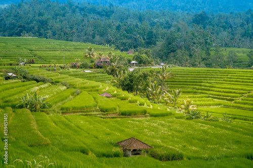 Fototapety, obrazy: Traditional Paddy Field and coconut trees in Bali Indonesia