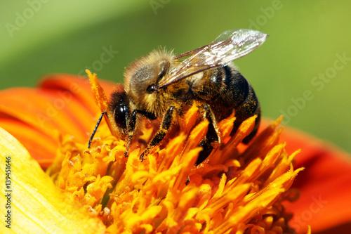 Foto op Plexiglas Bee Bee