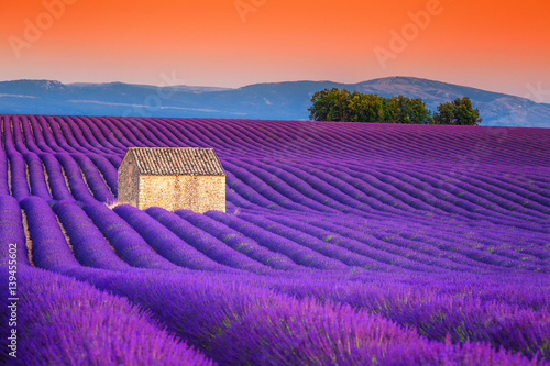 Fotobehang Snoeien Spectacular lavender fields in Provence, Valensole, France, Europe