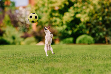 Funny Dog Jumping At Colorful Lawn Playing With Toy Football