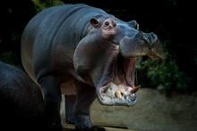 Hippo's Yawn