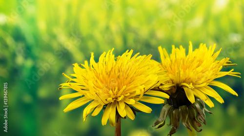 Fotografie, Obraz Field Sow Thistle - Field Flowers