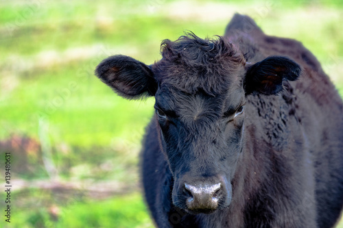 Photo  Yearling heifer in spring