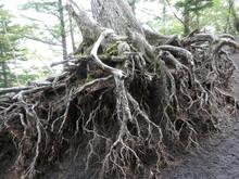 大きく根が露出した古...