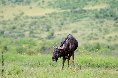 Gnu pręgowane w parku narodowym Pilanesberg