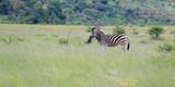 Fototapeta Sawanna - Zebra stepowa w parku narodowym Pilanesberg