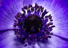 Purple Blue Anemone Poppy Flower Closeup With Reproductive Organs, Stamens And Pistil.