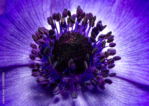 Purple blue anemone poppy flower closeup with reproductive organs, stamens and pistil. - 139498890