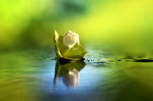 Bud Of Water Lilies On The Lake Water With Reflection And Drop Of Dew In Morning Summer Spring Close-up Macro Outdoors With Soft Focus Green Blurred Background. Border Template Wallpaper.