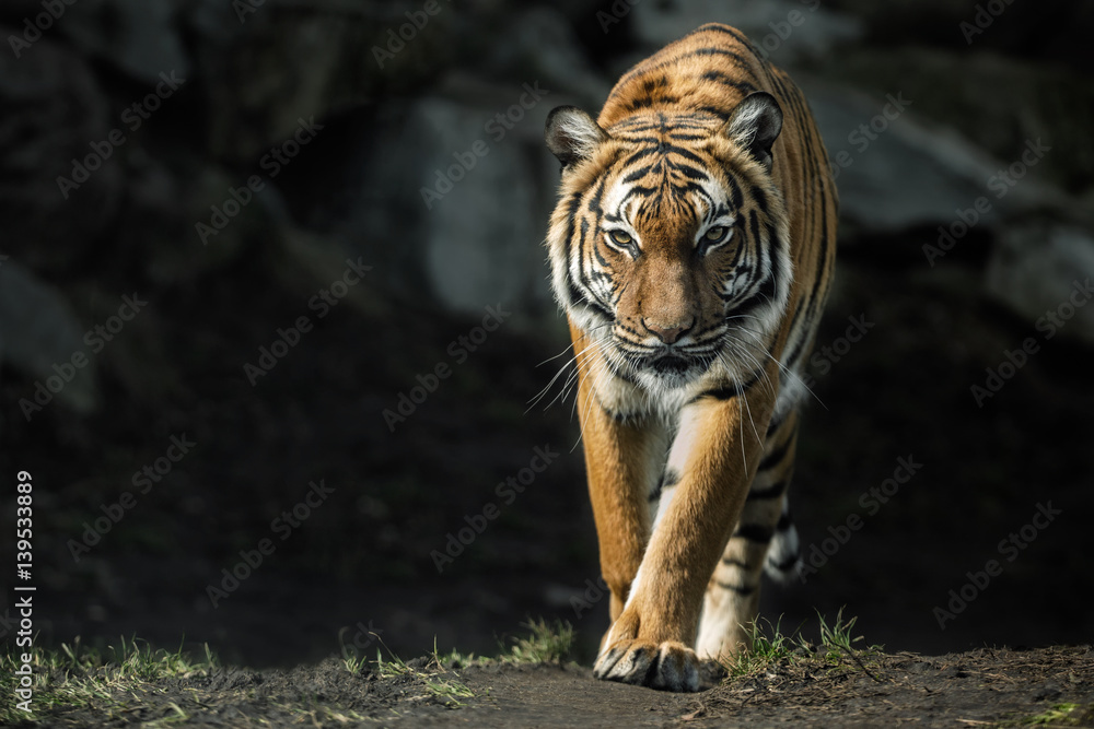 Beautiful malayan tiger female walking straight towards the photographer/Beautiful tiger look/Zoo/tigers in captivity