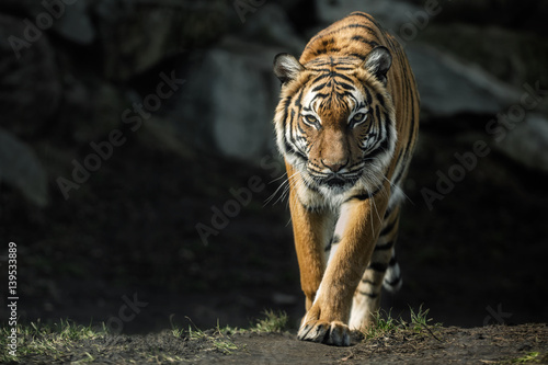 Photo Stands Panther Beautiful malayan tiger female walking straight towards the photographer/Beautiful tiger look/Zoo/tigers in captivity