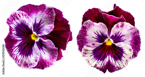 In de dag Pansies Pansy flowers isolated on white