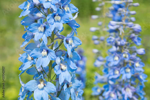 Tablou Canvas Flower Delphinium