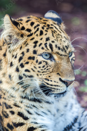 Poster Leopard North-Chinese leopard, leopard with blue eyes, head