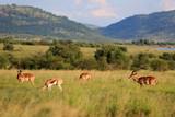 Fototapeta Sawanna - Antylopy impala i antylopy Springbok w parku narodowym Pilanesberg