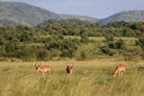 Fototapeta Sawanna - Impala zwyczajna ( Aepyceros melampus ) na sawannie