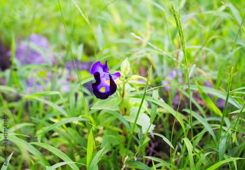 Foto op Canvas Bloemen Purple pansy flower in green grass. Optimistic summer meadow landscape.