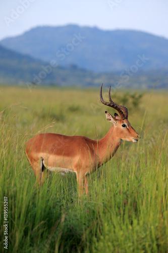 Antylopa impala (Aepyceros melampus) w parku narodowym Pilanesberg