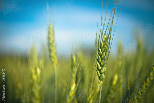 Green wheat and corn on a meadow at sunrise Fototapeta