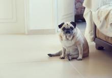 Funny Pug Dog Sitting On A Floor