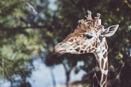 Girafe de profil Poster