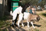 Animali pazzi: caprette tibetane in amore