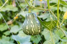 Butternut Pumpkin Hanging On V...