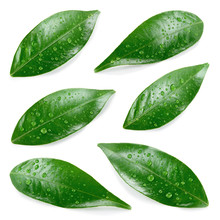Citrus Leaves With Drops Isola...