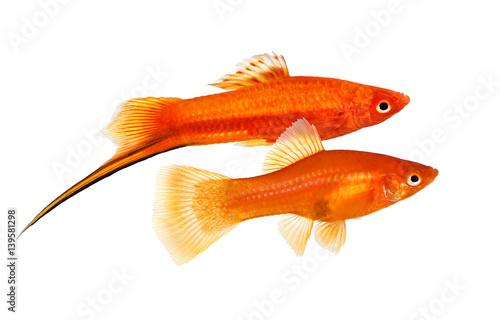 Red Swordtail pair Xiphophorus Helleri Male Female aquarium fish isolated on white