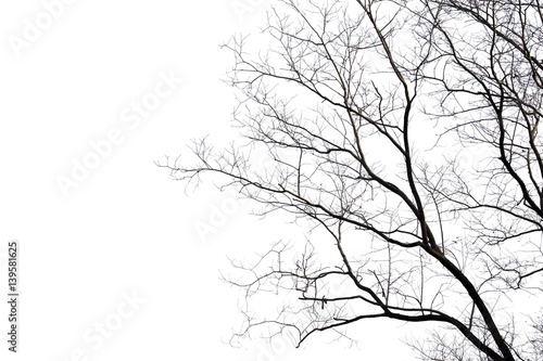 Fotografia  Dead branches , Silhouette dead tree or dry tree on white background with clipping path