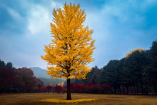 The Leaves Change Color During  Autumn Nami Island In  Korea.