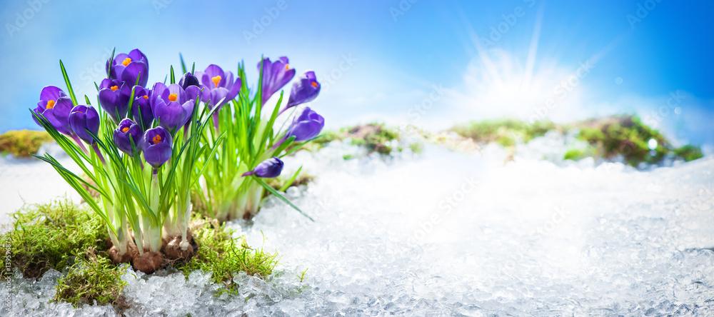 Fototapeta Crocus flowers blooming through the melting snow