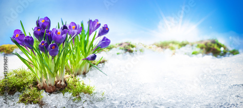 Tuinposter Krokussen Crocus flowers blooming through the melting snow