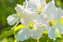White Apple Blossoms On A Background Of Spring Green Leaves