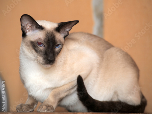 Fotografía  Siamese cat on a brown background