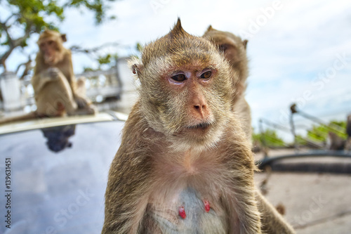 Monkey on the car is eating Thailand - Buy this stock photo and